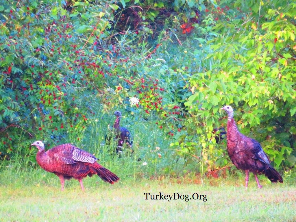 Beautiful wild turkeys in their native habitat