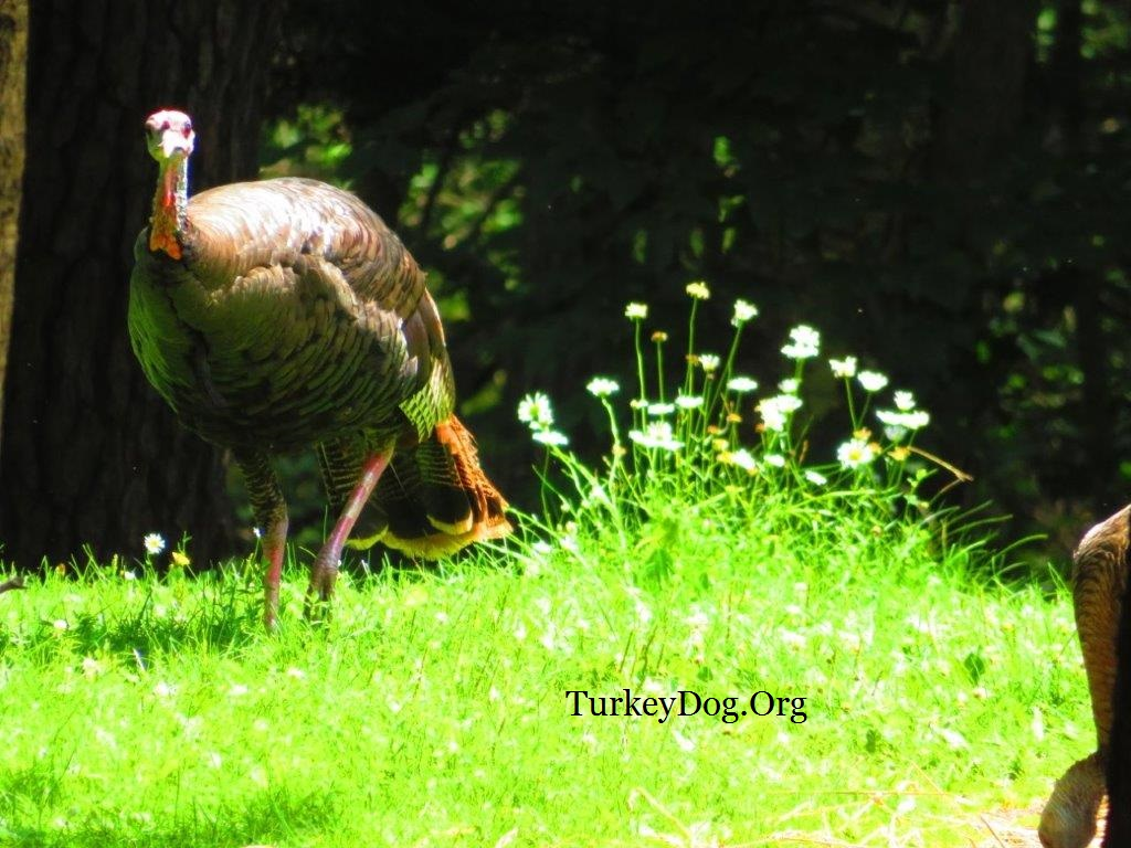 Metallic colors of wild turkey