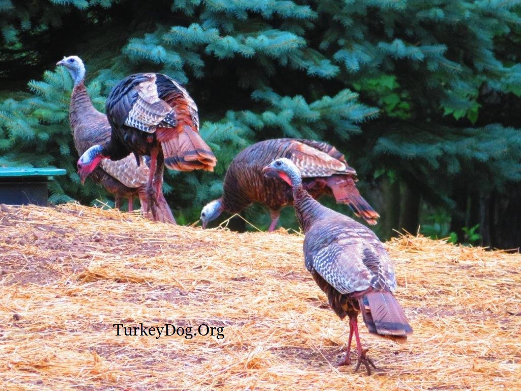 wild turkeys scratching in the straw