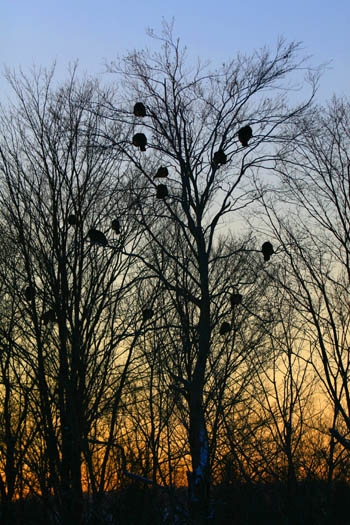 flock of wild turkey roosts in oak trees in winter